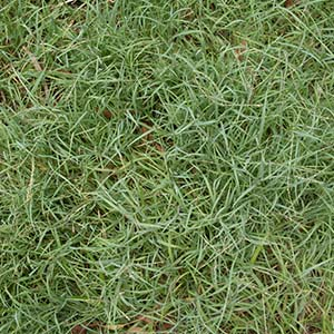 Grass Types Which Grass Is Right For My Lawn Victa