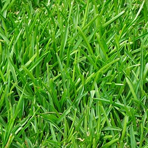 How to Identify Fescue Grass