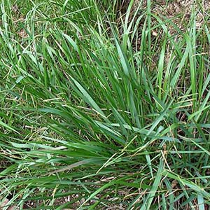 Identify and Kill Paspalum Weed by Victa